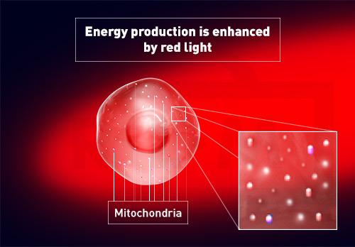 egg cell mitochondria