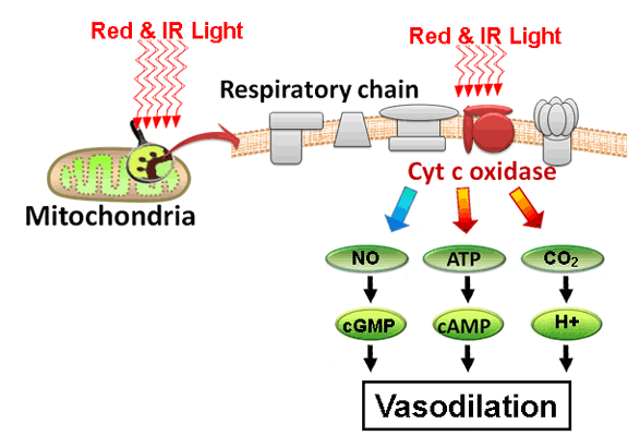 mechanism for vasodilation from red or infrared light