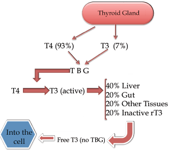 thyroid hormone system flowchart